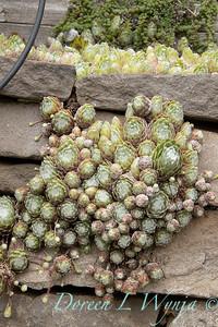 Sempervivum arachnoideum 'Cebenese' stacked rock wall_1962