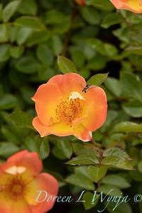 Rosa sp Oso Easy Paprika_1862