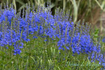 Veronica austriaca ' Crater Lake Blue'_1915