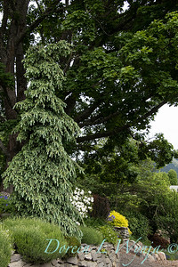 Picea glauca 'Pendula' in a lanscape_1999