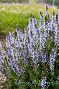 Salvia nemorosa 'Crystal Blue'_1951