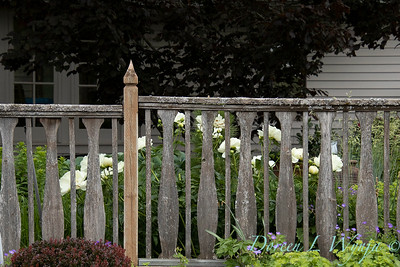 Wooden fence with Paeonia x 'Prairie Moon' beyond it_2004