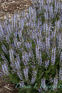 Salvia nemorosa 'Crystal Blue'_1950