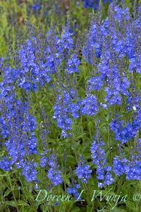 Veronica austriaca ' Crater Lake Blue'_1910