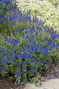 Veronica austriaca ' Crater Lake Blue'_1906