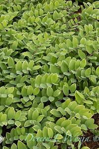 Polygonatum odoratum Variegatum_1996