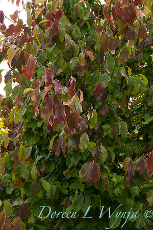 Parrotia persica_3953