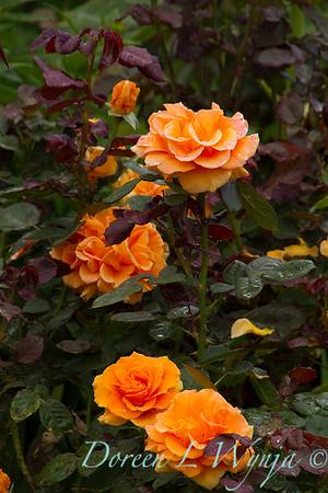 Rose_8372
