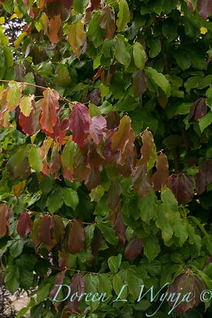Parrotia persica_3955