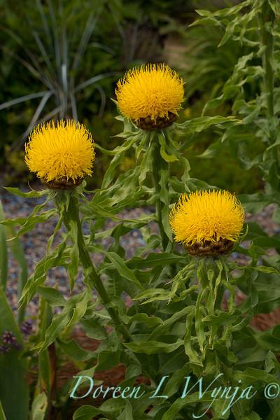 Centaurea macrocephala_3963