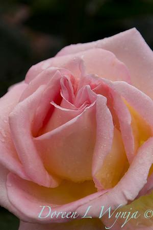 Rose_8373