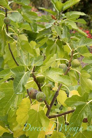 Ficus carica 'Black Jack'_4446