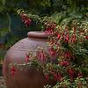 Fuchsia 'David' - jardiner_4438