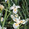 Iris Pacific Coast hybrid_1200