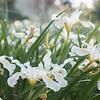 Iris Pacific Coast hybrid_1230