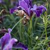 Iris Pacific Coast hybrid_1224
