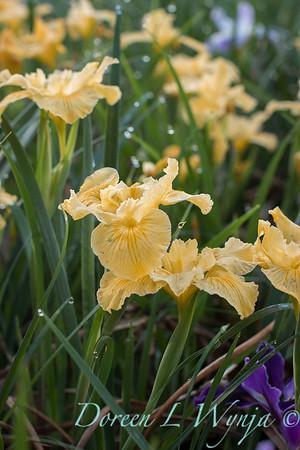 Iris Pacific Coast hybrid_1221