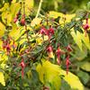 Fuchsia 'David'_3094