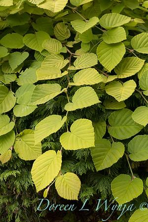 Corylopsis pauciflora 'Aurea'_3099