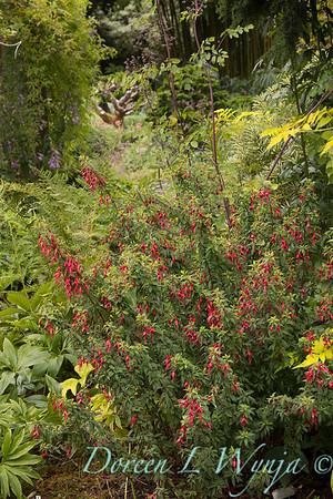 Fuchsia 'David'_3095