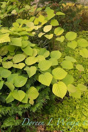 Corylopsis pauciflora 'Aurea'_3103