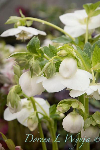 Helleborus x hybridus Winter Jewels 'White Pearl'_0910