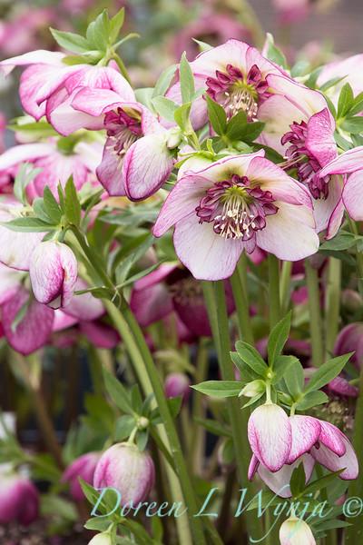 Helleborus x hybridus Winter Jewels 'Cherry Blossom'_1399