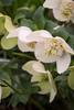 Helleborus 'White Pearl'_0622