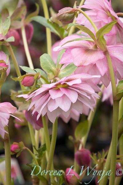 Helleborus x hybridus Winter Jewels 'Cotton Candy'_0991