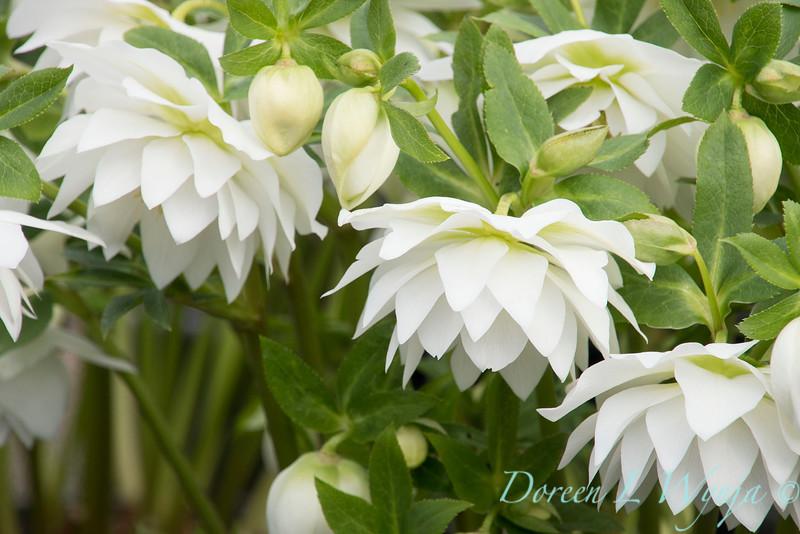 Helleborus x hybridus Winter Jewels 'Sparkling Diamond'_1343