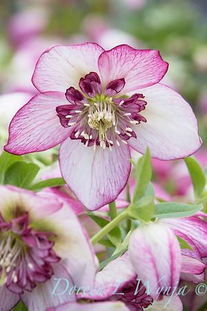 Helleborus x hybridus Winter Jewels 'Cherry Blossom'_1405