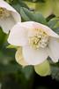 Helleborus 'White Pearl'_0627