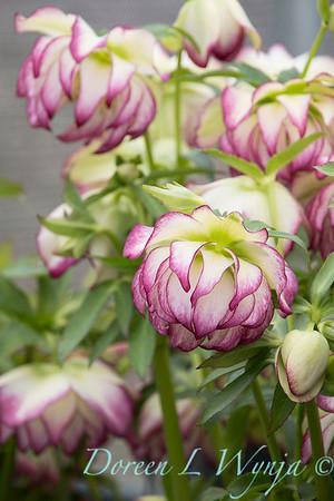 Helleborus x hybridus Winter Jewels 'Rose Quartz'_1291