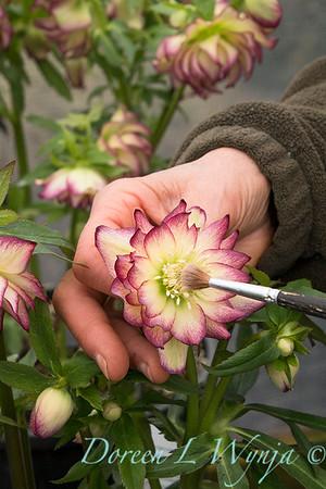 Marietta doing pollination_1286