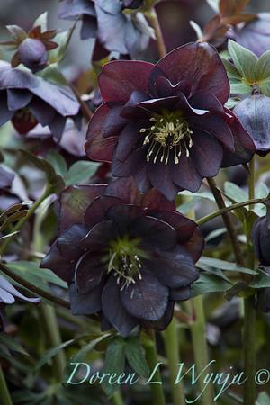 Helleborus x hybridus Winter Jewels 'Double Slate'_1377