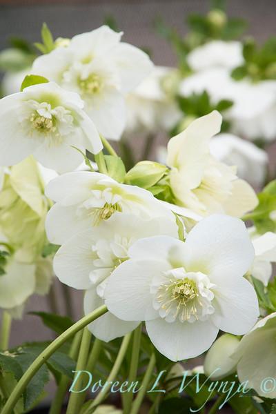 Helleborus x hybridus Winter Jewels 'White Pearl'_1362