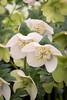 Helleborus 'White Pearl'_0625