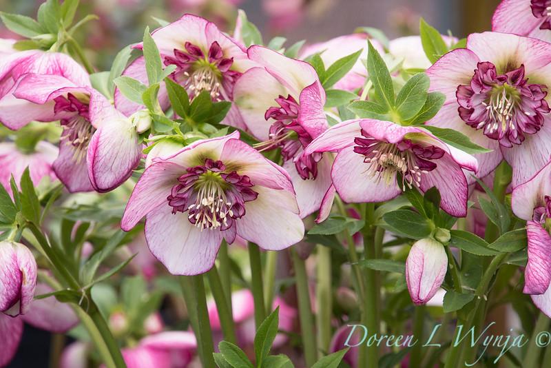 Phoenix Perennials : Next Generation Helleborus Pre-order  - Page 2 Helleborus%20x%20hybridus%20Winter%20Jewels%20%27Cherry%20Blossom%27_1397-L