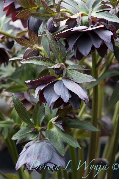 Helleborus x hybridus Winter Jewels 'Double Slate'_1389