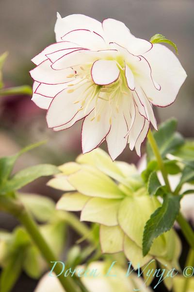 Helleborus x hybridus Winter Jewels 'Sparkling Diamond'_0940CD