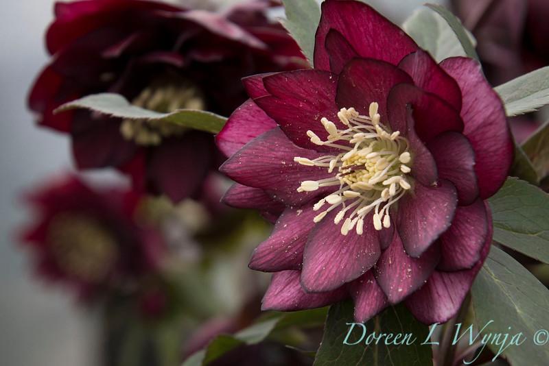 Helleborus x hybridus Winter Jewels 'Red Sapphire'_1412