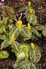 Trillium luteum_1846