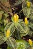 Trillium luteum_1848