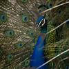 Pavo cristatus - male Peacock_0132