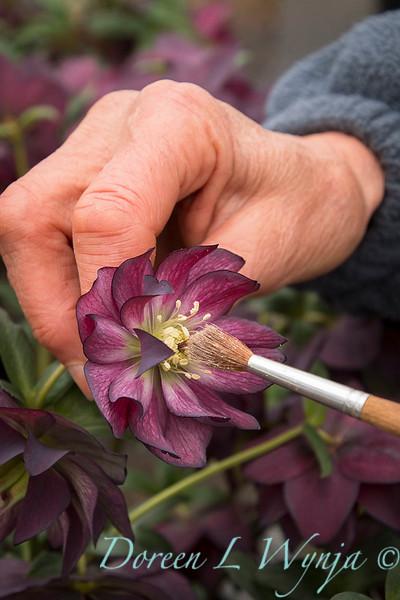 hand pollinating of Helleborus 'Red Sapphire'_0793