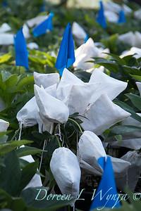 Helleborus with seed bags_4436
