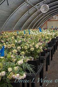 Helleborus 'Rose Quartz' hoop house_0665