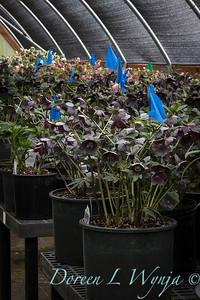 Helleborus 'Blue Diamond' hoop house_0669