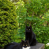 Black & White garden cats - kitty_5052