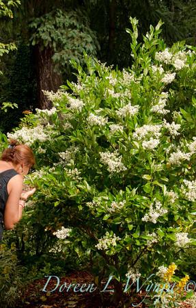 Ligustrum japonicum Texanum_027